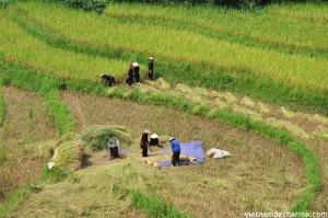 Le village des Tay a la moisson