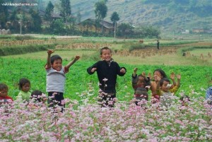 Fleure de sarrasins a Ha Giang