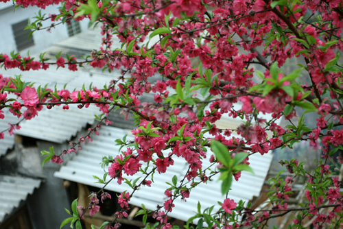 fleurs de pêche du Nord-ouest