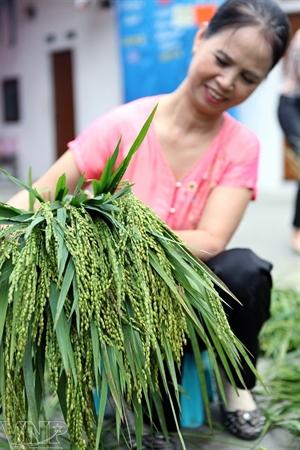 Les jeunes riz gluants sont la matière première du côm