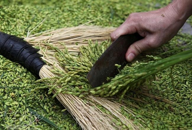 Les grains de riz serviront à faire du côm