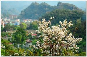 Fleurs de banhunie dans le Nord-ouest , Hoa Ban Tay Bac