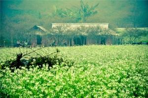 des fleurs de sénevés blanches