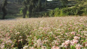 Tam Giac Mach. fleurs de sarrasin